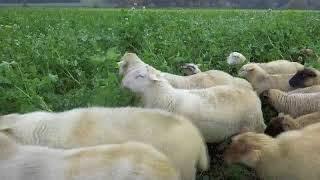 Passer l'hiver - Paturage ovin de couverts dans l'Essonne