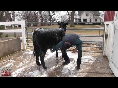 Beef Cattle Washing Tips From Nasco & CD Show Cattle