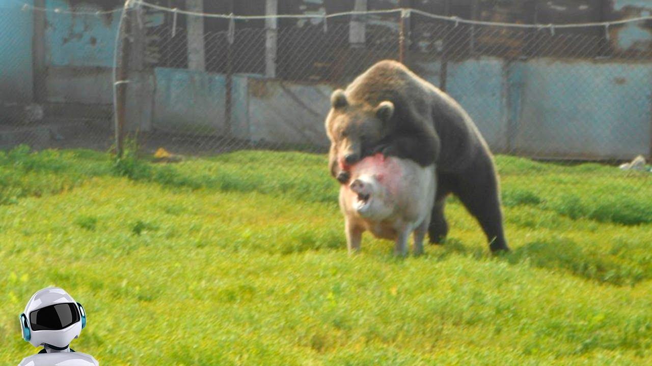 Медведь в Деле / Медведь против Коровы, Свиньи, Лося