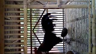 Download Video Suara Kokok Ayam Ketawa Dewasa Jantan MP3 3GP MP4