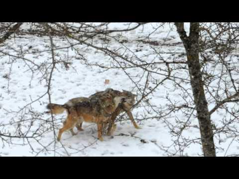 Lupi nel Parco Nazionale D'Abruzzo Lazio e Molise