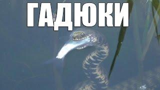 Змея охотится на рыбу Уникальные кадры. Snake hunts for fish.