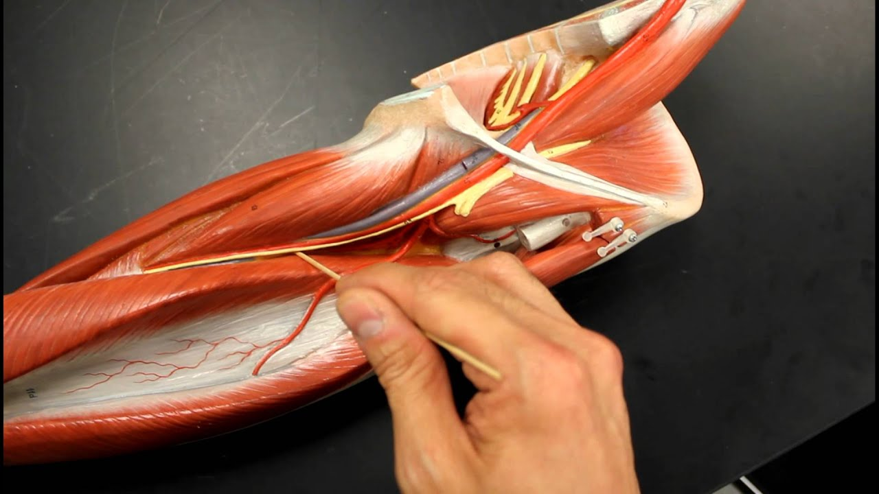CIRCULATORY SYSTEM ANATOMY: Systemic circulation arteries upper ...