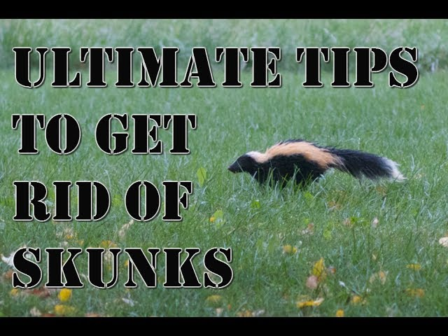 How To Get Rid Of Skunks: 9 Steps (with Pictures)   WikiHow