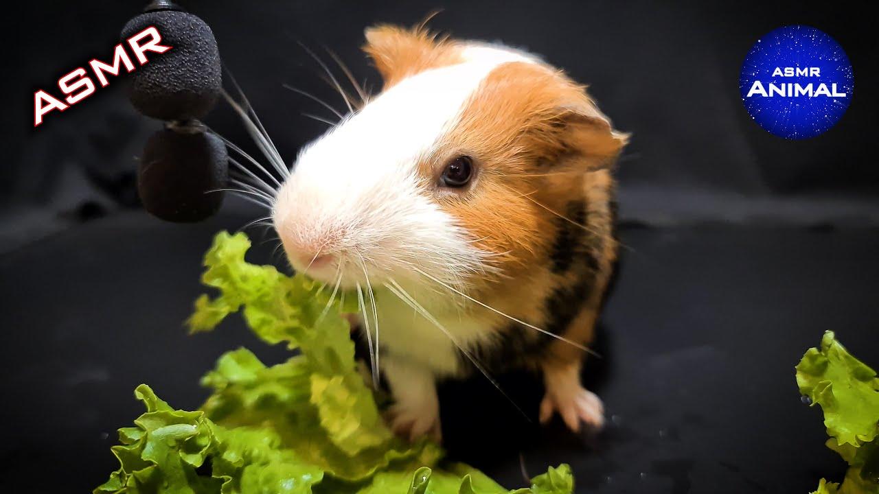 Guinea Pig Eating ASMR #21 | Animal ASMR