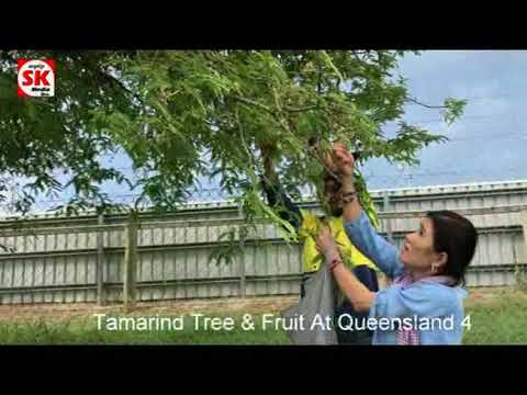SK Media  Report From Queensland Tamarind Tree & Fruit 4