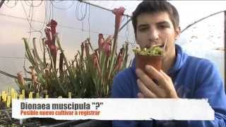 Carniplant-Plantas carnívoras- Nuevo cultivar oficial de Dionaea muscipula