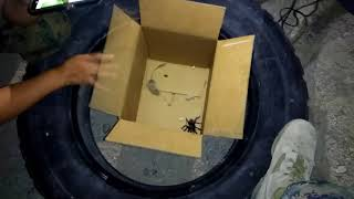 Tarantula vs Mouse