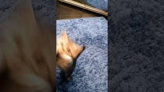 Британский котенок  Алиса 1,5 месяца