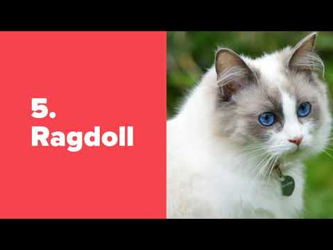 Top 5 Intelligent cat breeds in the world | Number 2 is very beautiful one.
