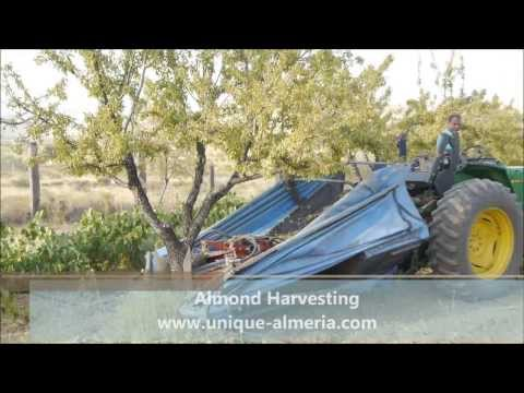 Almond Harvesting in Almeria (Spain)