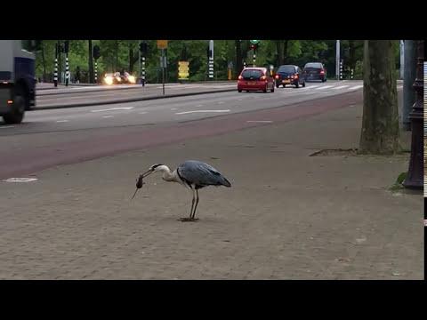 Heron (?) catches, kills and eats a rat - Amsterdam 2016