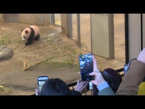 ジャイアントパンダのシャンシャン一般公開 上野動物園