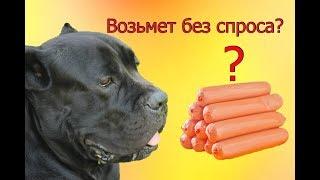 Возьмет без спроса собака Кане Корсо сосиску или нет? #canecorso #GoPro
