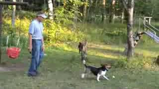 Beagle Obedience Training