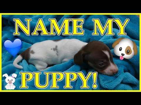 name-my-puppy!!-6-miniature-dachshund-pups!!-adorable!!-|sugarbunnyhops