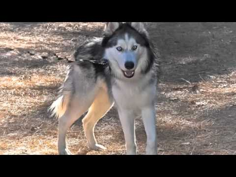 kavic the wolf dog