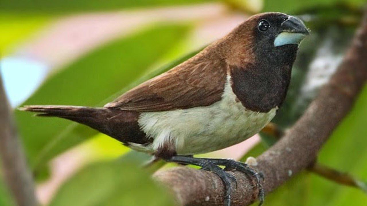 Tutorial Mengenal Burung Emprit Youtube