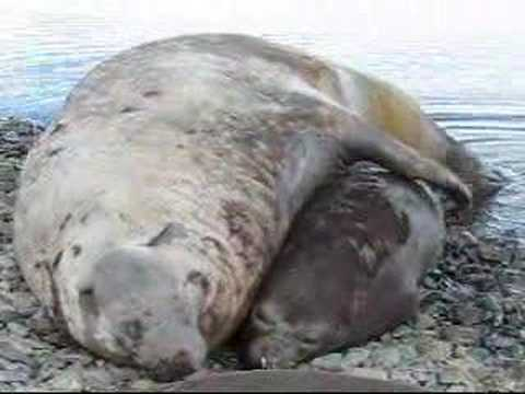 Elephant seals fighting, mating and cute pups playing. Travel Video