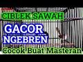 Ciblek Sawah Gacor Ngebren Cocok Jadi Guru Vocal Burung Kesayangan Anda Prenjak Sawah  Mp3 - Mp4 Download