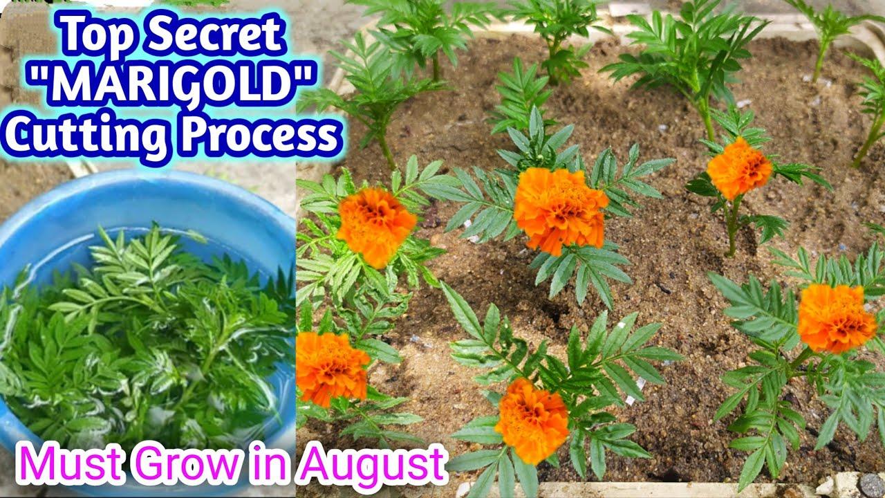 जुलाई अगस्त में इस तरह से गेंदे की कटाई लगाने से मिलेगा पत्तो से ज्यादा फूल | How to Grow Marigold