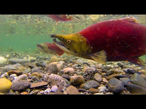 East Alsek Spawning Salmon