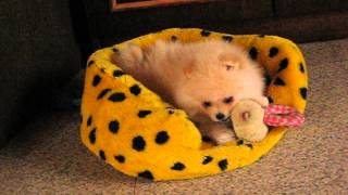 Boy Pomeranian, 2 Month Age.#1