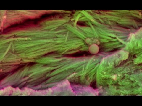 75 Million-Year-Old Blood Cells Found in Dinosaur Fossils