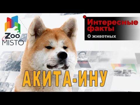 Акита-ину - Интересные факты о породе  | Собака породы  акита-ину