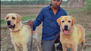 LABRADOR RETRIEVER  DO You Know ALL About This Popular Breed LAB Doggyz World