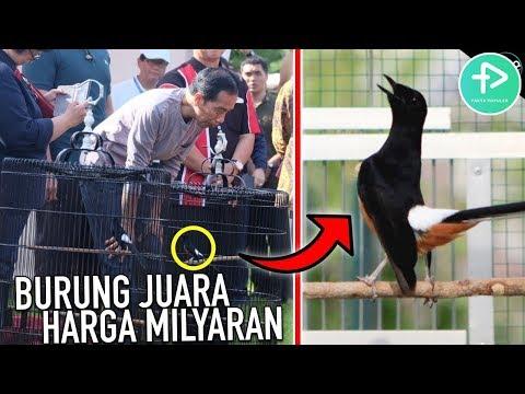 Suara Merdu, HARGA MILYARAN! 5 BURUNG KICAU TERMAHAL DI INDONESIA