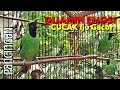 Masteran Cucak Ijo Nembak Pancingan Cucak Ijo Lain Pasti Ikut Ngamuk  Mp3 - Mp4 Download