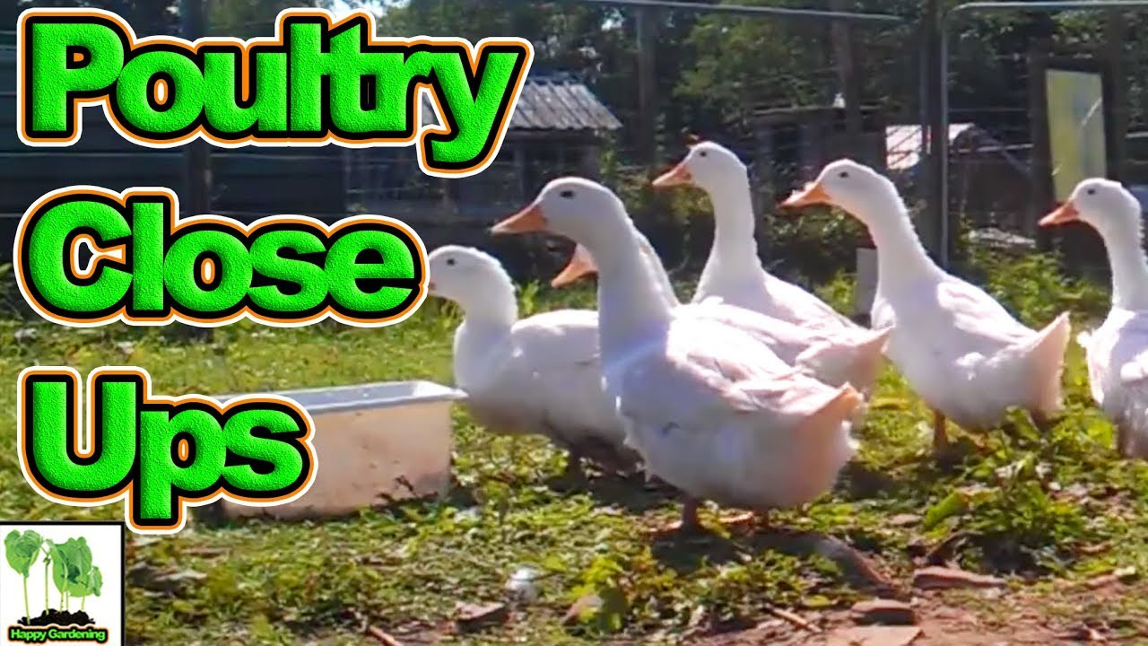 video of chicken coops chickens u0026 ducks as well as hens and