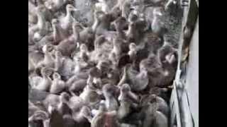 Утята-пираньи 3