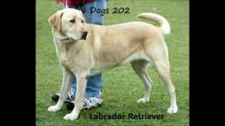 Dogs 202 - Labrador Retriever