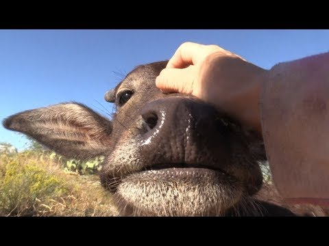 ❤❤ Relax with Nandi the baby Water Buffalo ❤❤ [ASMR]