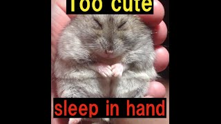 手の中で眠るジャンガリアンハムスターです。 寝ぼけているのか、モゾモゾしてます...