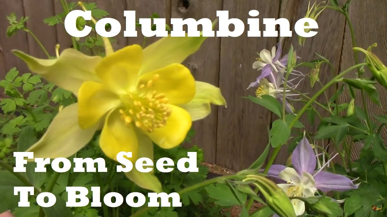 Following Columbine From Seed To Flowering One Year Condensed