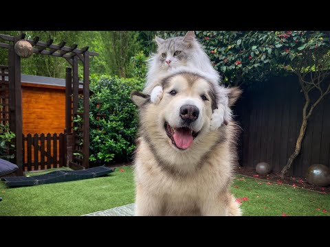 Giant Alaskan Malamute Cutest Fluffy Dog Ever! (Not A Husky) Spend The Day With Us