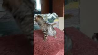 Московский питомник тойгер кошек FairyBerendey предлагает котенка котика Капучино.