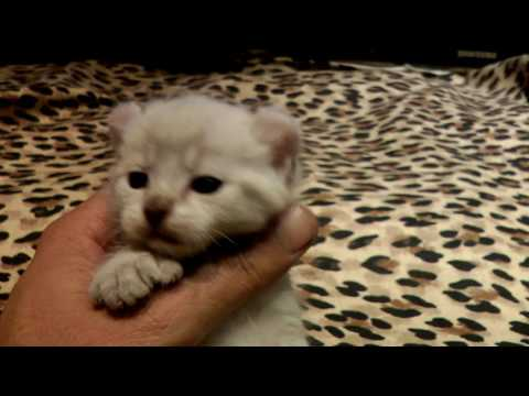 """Exotic Rare Lynx Hybrid"" -  4 weeks old"