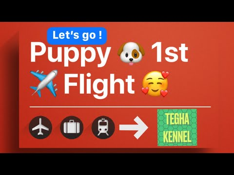 Cavapoo puppy travel New Delhi to Chennai In Air India Cargo