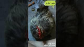 علاج الفاش او قمل الطيور عند الدجاج نهائيا