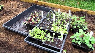 Planting Your Fall Garden Seed Starts in Beds: Planting, Fertilizing & Pest Management- Video (2of2)