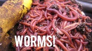 How to Set Up a Home Made Worm Farm!