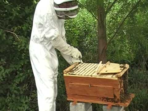 Harvesting Honey From Our Cedar Top Bar Bee Hive From  Www.cedarchickencoop.com