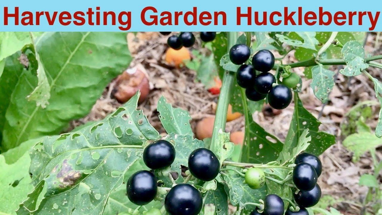Lovely Harvesting Garden Huckleberry