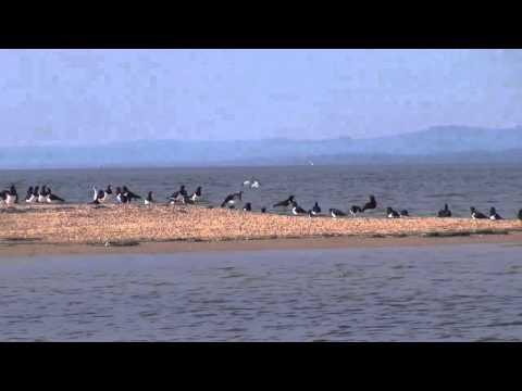 Waterbird Surveys - Western Port