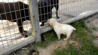 Kentfield Kennels Labrador Retrievers Nora Puppies @ 6weeks. 6-8-2010 003.avi