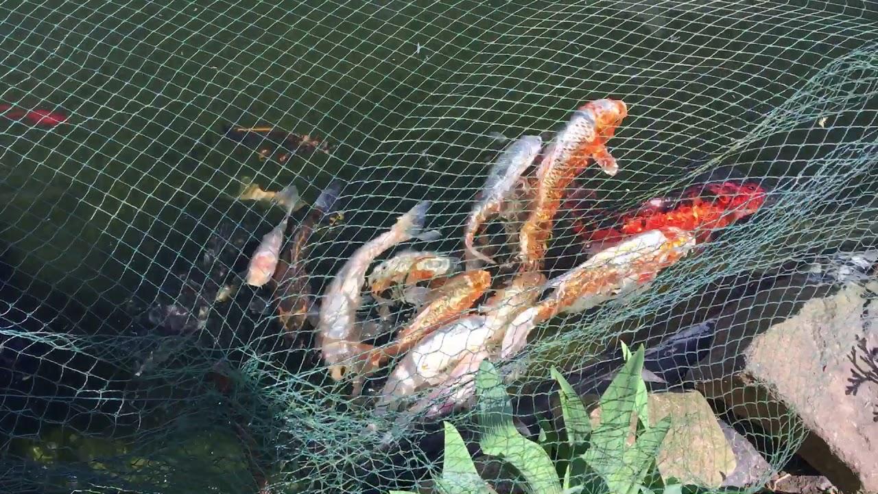 Koi teich mit goldfisch klares wasser mit oase filter uvc for Koi mit goldfischen